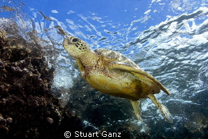 Green sea turtle at waters edge by Stuart Ganz 